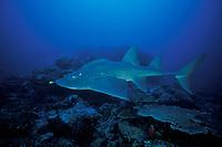 bowmouth guitarfish, Rhina ancylostoma, Similan Islands, Thailand (Andaman Sea)