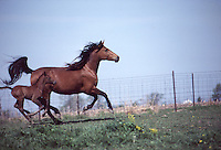 Fox trotter mare and foal running along fence line, Missouri, USA