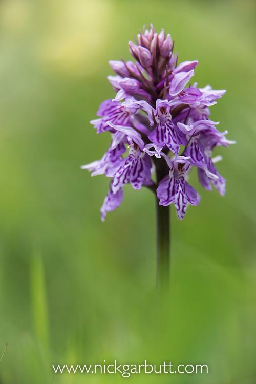 Spotted Heath Orchid (Dactylorhiza maculata) in montane meadow.  Nordtirol, Austrian Alps, Austria, July.