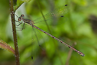 Southern Spreadwing (Lestes australis) Damselfly - Female, Cranberry Lake Preserve, Westchester County, New York