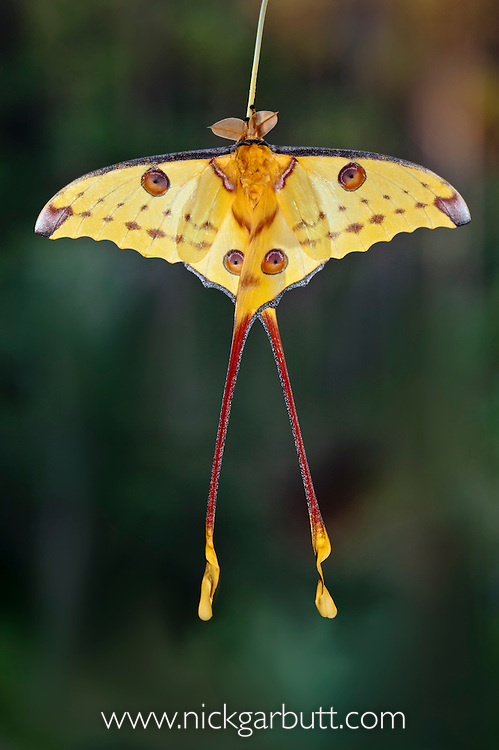Male Comet Moth (Argema mittrei) shortly after emergence from its coccoon. Andasibe-Mantadia National Park, eastern Madagascar.