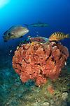 Caribbean reef shark: Carcharhinus perezi