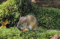 Brandmaus, Brand-Maus, frisst Buchecker, Maus, Apodemus agrarius, Old World field mouse, striped field mouse