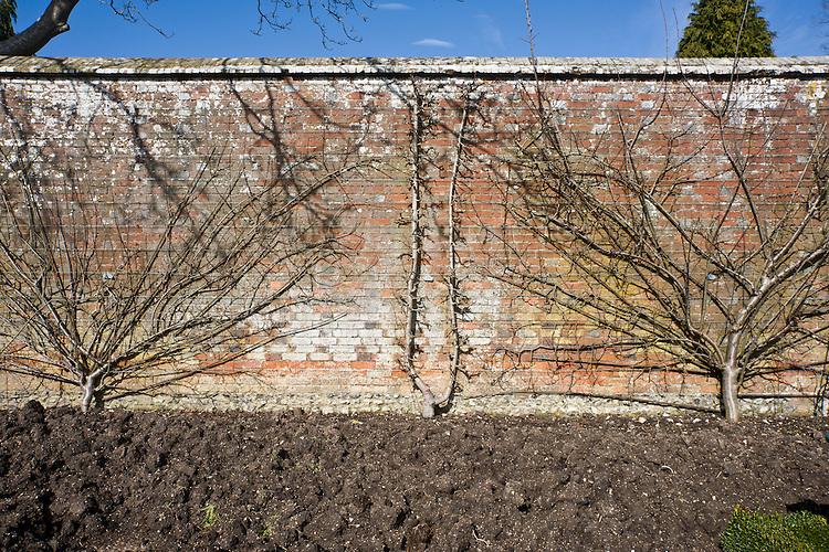 "A double (""U"") cordon pear 'Seckle' in between two plum fans, West Dean Gardens, Sussex, early March."