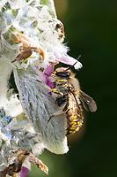 Garten-Wollbiene, Große Wollbiene, Gartenwollbiene, Europäische Wollbiene, Männchen an Woll-Ziest, Wollziest (Stachys byzantina), Anthidium manicatum, European wool carder bee, wool carder bee, Continental Wool-carder Bee, male, abeille cotonnière