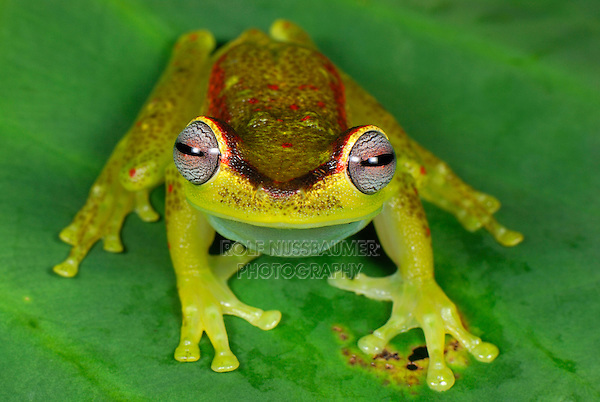 Treefrog (Hyla rubracyla), adult, San Cipriano Reserve, Cauca, Colombia, South America