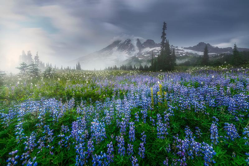 Mount Rainier with fog and wild lupine. Mount Rainier National Park, WA