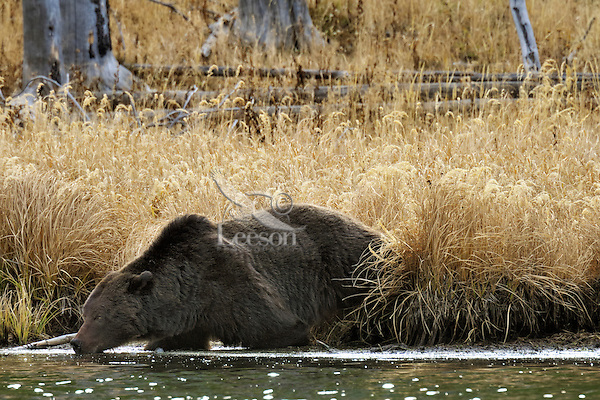 GRIZZLY BEAR (Ursus arctos) drinking from pond.   Greater Yellowstone Area.  Fall.