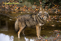 MA27-035z  Eastern Coyote - Canis latrans