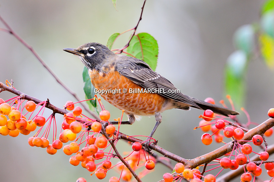 00980-020.20 American Robin pauses while feeding on crab apples.  Food, survive, fruit, landscaping.
