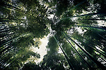 Arashiyama bamboo forest, dreamy skyward view of tree tops from below the converging bamboo culms. Kyoto, Japan. Image © MaximImages, License at https://www.maximimages.com
