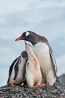 Gentoo pengiun (Pygoscelis papua) on nest with chicks. Mikklesen Harbour, Trinity Island. Antarctica.