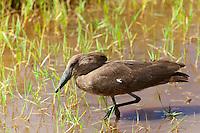 Hammerkop (Scopus umbretta), Lake Nakuru National Park, Kenya