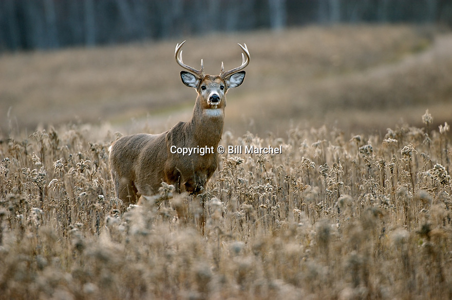 00274-303.18 White-tailed Deer Buck (DIGITAL) with 8-pt. antlers is in goldenrod meadow during fall.  H3F1