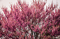 Pink blossoms, likely a cherry tree, in soft, rain-filtered light.