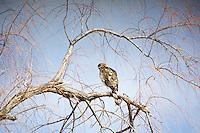 Cooper's Hawk roosting at Bosque Del Apache, New Mexico
