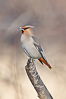 Bohemian Waxwing with snow on its beak perched on a tree stump