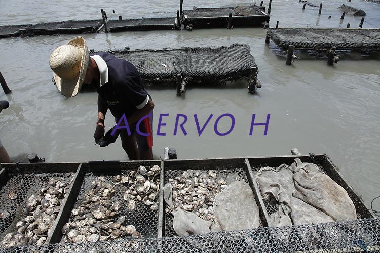 Tarso Sarraf Produção de ostras no nordeste do estado do Pará