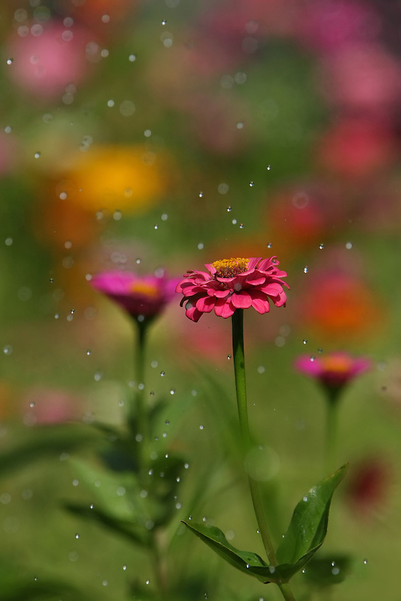 I used some high-speed shooting to try & freeze the drops/movement, with a more distant group of flowers for background.<br /> These are garden zinnias, and the water drops are from our garden sprinkler.