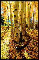 ASPEN ARE THE SIGNATURE TREE OF THE AMERICAN SOUTH WEST