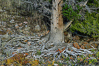 Pine Tree roots along Lamar Riverbank, Yellowstone National Park, Wyoming.  Sept.