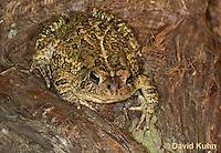 0602-0919  Fowler's Toad, Anaxyrus fowleri [syn: Bufo fowleri (Bufo woodhousii fowleri)]  © David Kuhn/Dwight Kuhn Photography