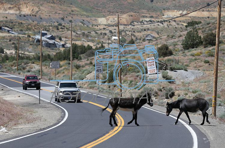 Hoof traffic on the highway near Silver City, Nev., on Thursday, June 9, 2016.<br />Photo by Cathleen Allison