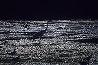 Europe/France/Pays de la Loire/44/Loire-Atlantique/Grande Brière et Marais de Donges et du Brivet/Env de Kervalet : Héron cendré dans le marais