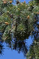 Schwanzmeise, Schwanz-Meise, Schwanz - Meise, Nest im Baum versteckt zwischen Tannenzweigen, Tarnung, Aegithalos caudatus, long-tailed tit