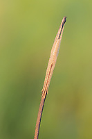 A Longjawed Orbweaver (Tetragnatha sp.) spider blends in with the twig on which it perches.