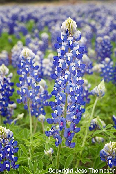 Very tall Bluebonnet, Burnet, Texas