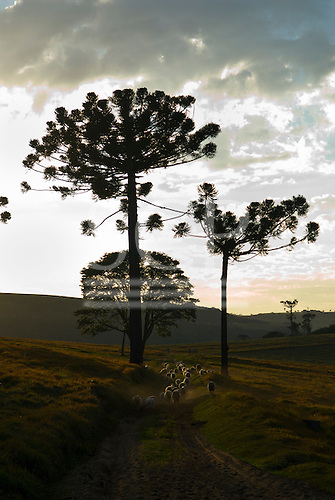Fazenda Bauplatz, Parana State, Brazil. Araucaria trees with sheep.