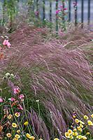 Aristida purpurea, Purple Three Awn grass with California native plants in pollinator garden at Los Angeles Natural History Museum