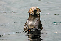Southern Southern sea otter, Enhydra lutris nereis, spy hop, looking around or periscoping, Monterey, California, USA, Pacific Ocean, national marine sanctuary, endangered species