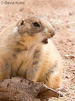 0721-1120  Black-tailed Prairie Dogs, Warning Others of Predator in Area with Call (Barking, Bark), Cynomys ludovicianus  © David Kuhn/Dwight Kuhn Photography