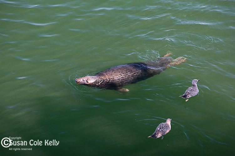 Harbor seals in Chatham, Cape Cod, Massachusetts, USA