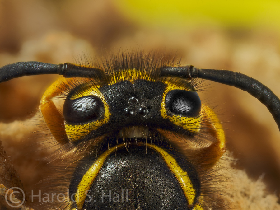 A close-up of this hornet's head reveals the three simple eyes located between the compound eyes.  The yellow markings look a bit like a frown to me.