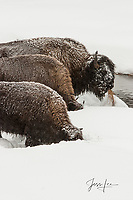 Yellowstone bison Photography