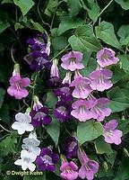 HS68-001c  Ascarina - Bright Jewel Mix variety, climbing plant - A. scandens