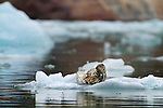 Harbor Seal on ice, Endicott arm Fiord, Tongass National Forest, Alaska