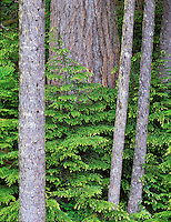 Western Hemlock with new growth. Olympic National Park, Washington.