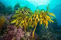 Southern sea palm, palm kelp, underwater, San Clemente Island.