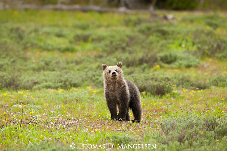 A grizzly bear cub (399's) stands in a meadow in Grand Teton National Park, Wyoming.