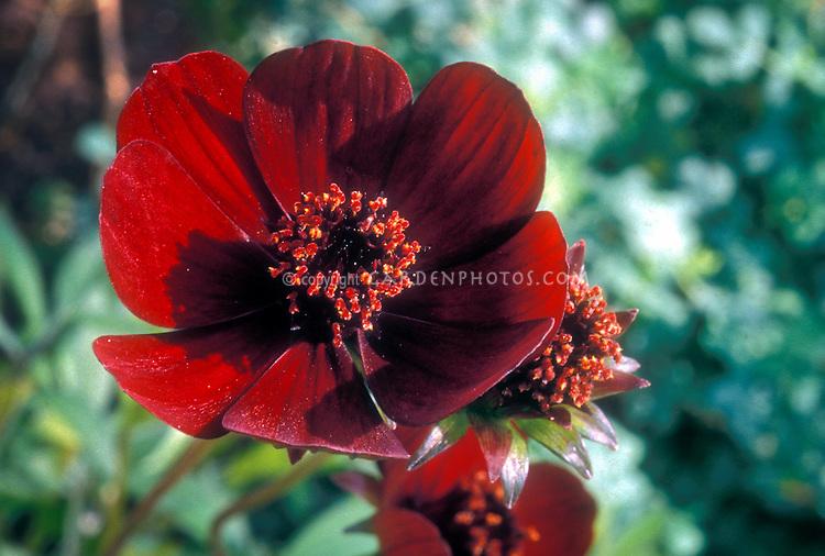 Cosmos atrosanguineus, Chocolate scented cosmos flower