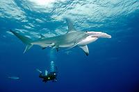 A diver photographs a great hammerhead shark, Sphyrna mokarran, off a remote reef in the northernmost Bahamas, Caribbean, Atlantic Ocean