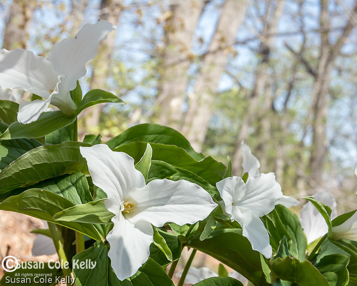 Large White Trillium (Trillium grandiflorum)  at the Arnold Arboretum in the Jamaica Plain neighborhood, Boston, Massachusetts, USA
