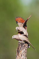 Inca Dove (Columbina inca), pair mating, Sinton, Corpus Christi, Coastal Bend, Texas, USA