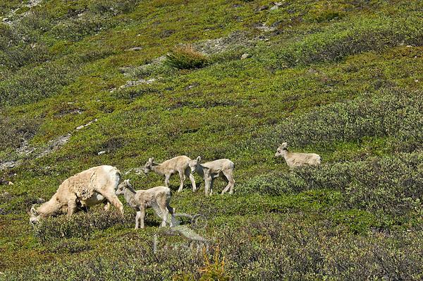 Bighorn Sheep or Mountain Sheep (Ovis canadensis) ewe with lambs.  Northern Rockies.  June.