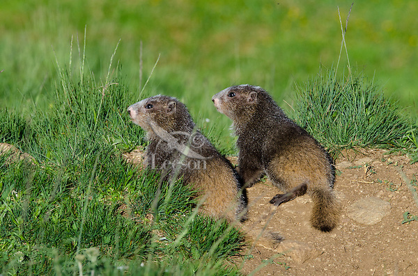 Olympic Marmots (Marmota olympus)-- young pups near den.  Olympic National Park, WA.  Summer.