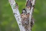 Eastern kingbird and chicks in northern Wisconsin.